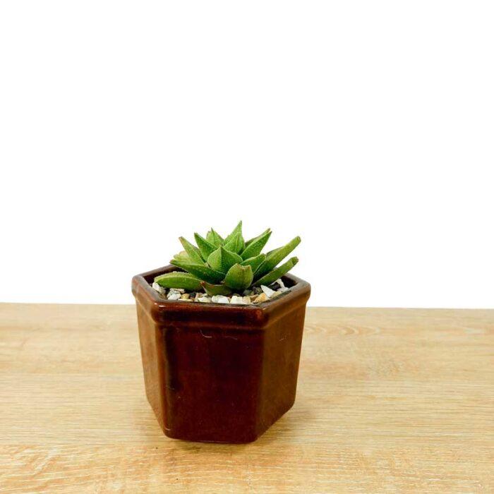 plantas suculentas tipos