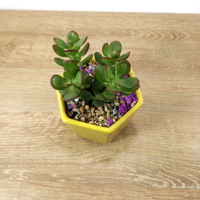 suculentas de colores suculentas plantas