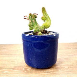 Cactus Flor Grande 1RA1