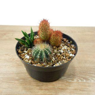 Cactus a domicilio RF4-2