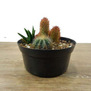 Cactus a domicilio RF4