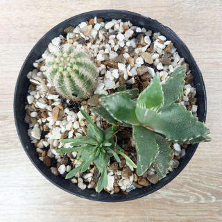 Cactus online RF2-1