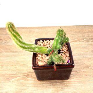 Flor de Cactus 1CC-2