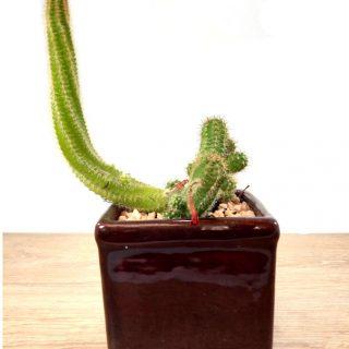 Flor de Cactus 1CC