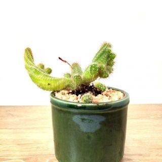 Flor del Cactus 1VR