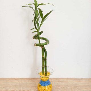 Lucky-Bamboo-Bambo-de-la-suerte_1