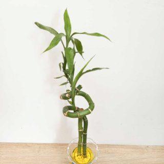 Lucky-Bamboo-Bambo-de-la-suerte_2