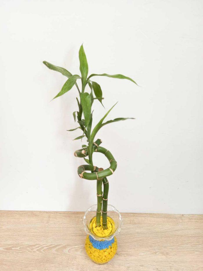lucky bamboo espiral