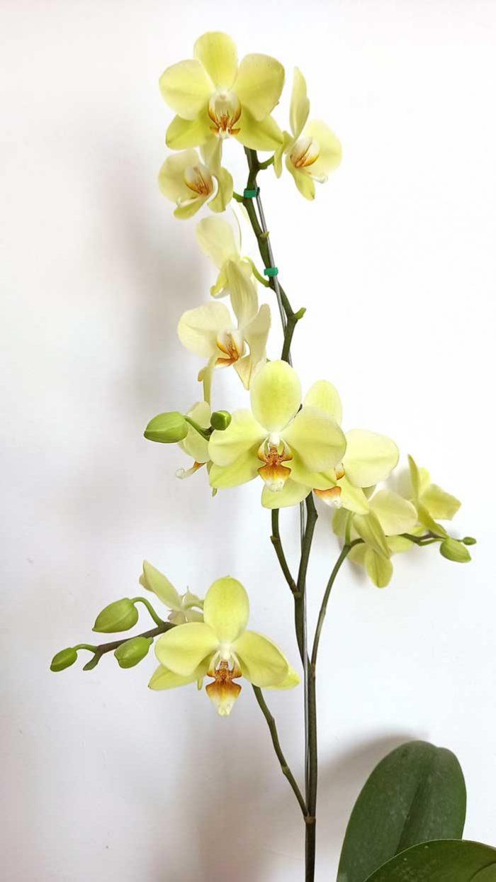 orquideas domicilio venta