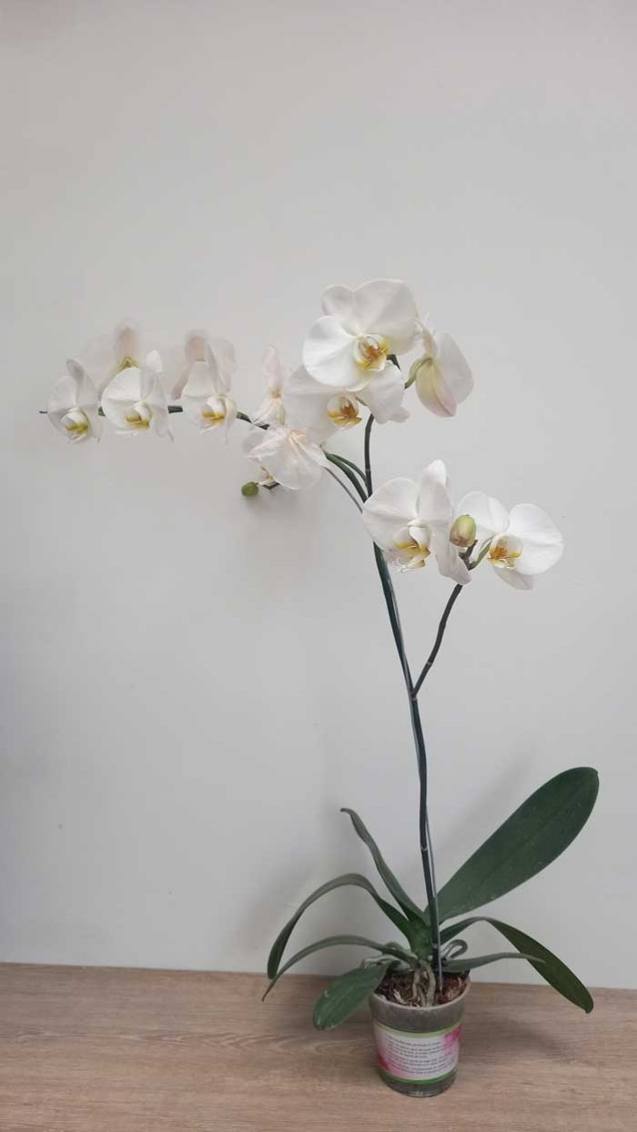 flores orquideas