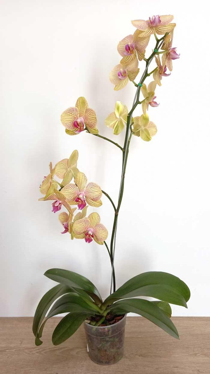 orquídeas precios