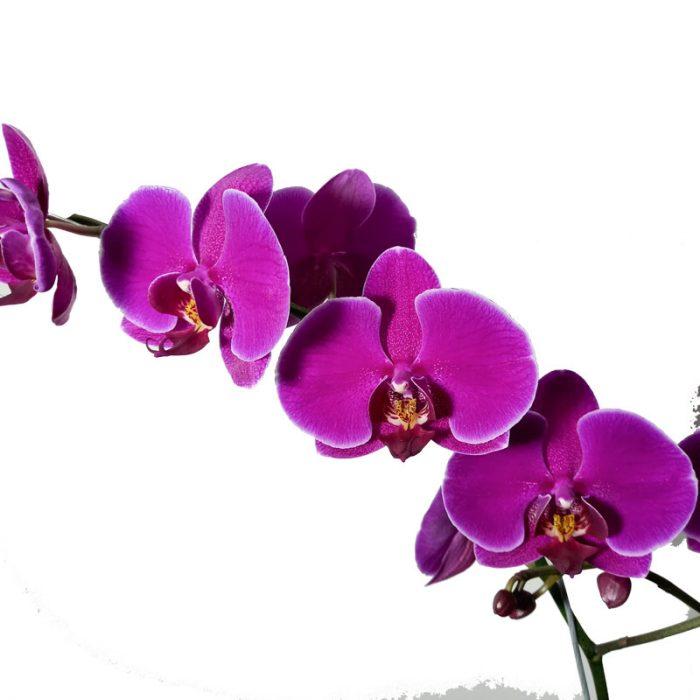 orquideas y su cuidado