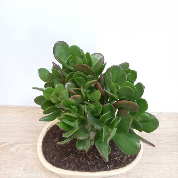 bonsai jade cuidados