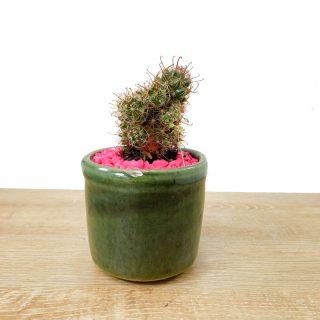 cactus alas de angel 3RV