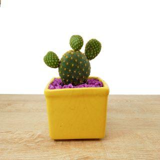 cactus coreano 2CA
