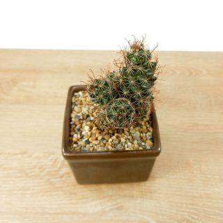 cactus coreano suerte 3CC-1