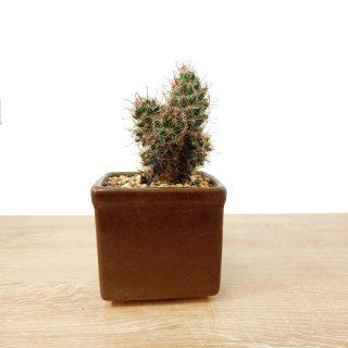 cactus coreano suerte 3CC