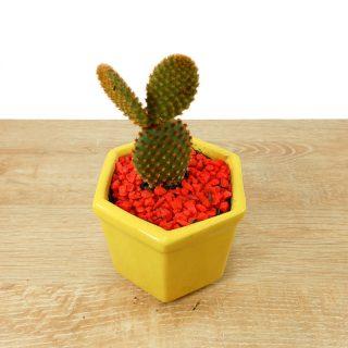 cactus de la suerte 2HA-1