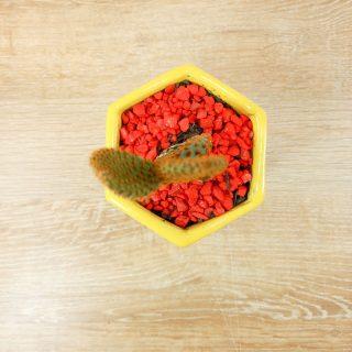 cactus de la suerte 2HA-2