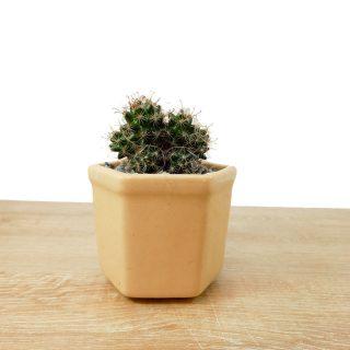 cactus de la suerte 3HB