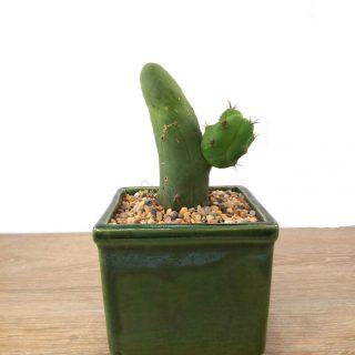cactus en flor 5CV