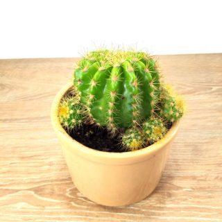 cactus en flor 9RB-1