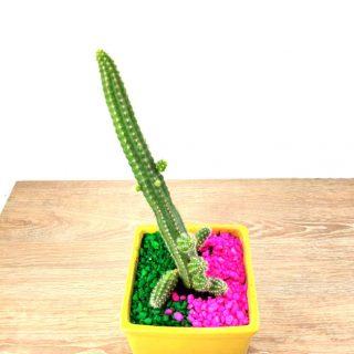 cactus flor 7CA-1