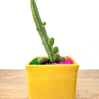 cactus flor 7CA