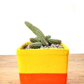 cactus flor 7CAN