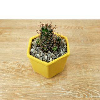 cactus florecido 3HA-1