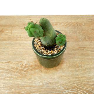cactus prosperidad 4RV-1