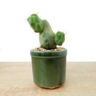 cactus prosperidad 4RV