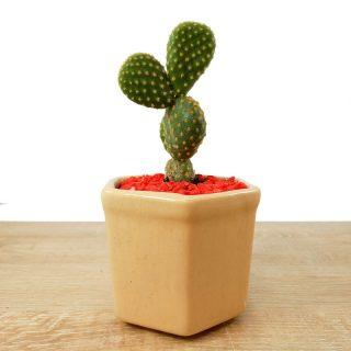 cactus suculenta flor 2HB