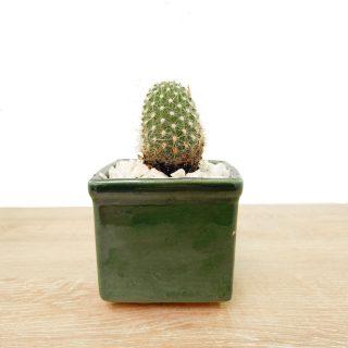 cactus suculentas 1CV