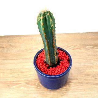cactus suculentas 2RA1-2