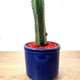 cactus suculentas 2RA1