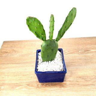 cactus suculentas 8CA-1