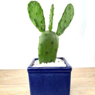 cactus suculentas 8CA