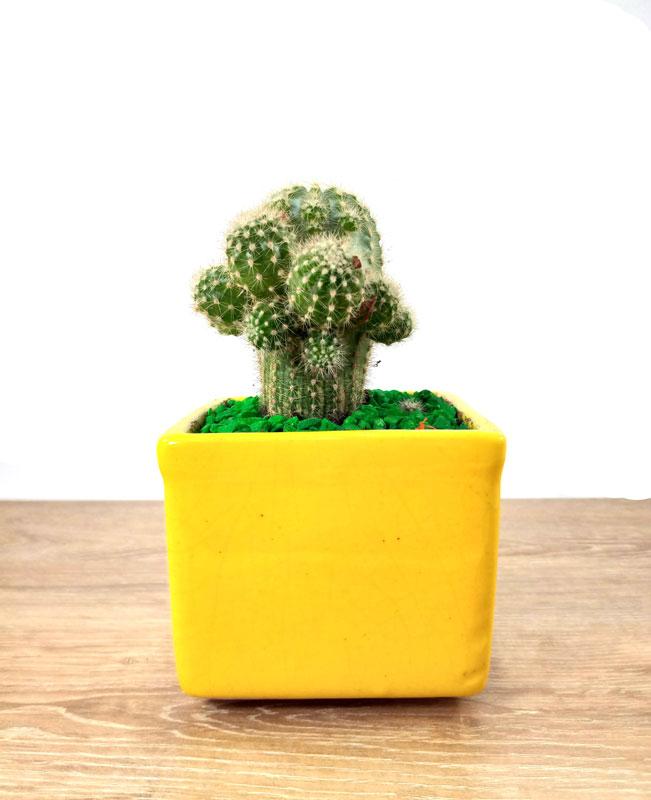 cactus ornamentales plantas en macetas