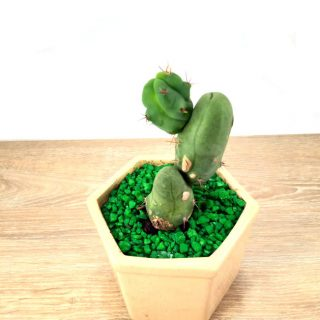 cuidados del cactus 5HB-1