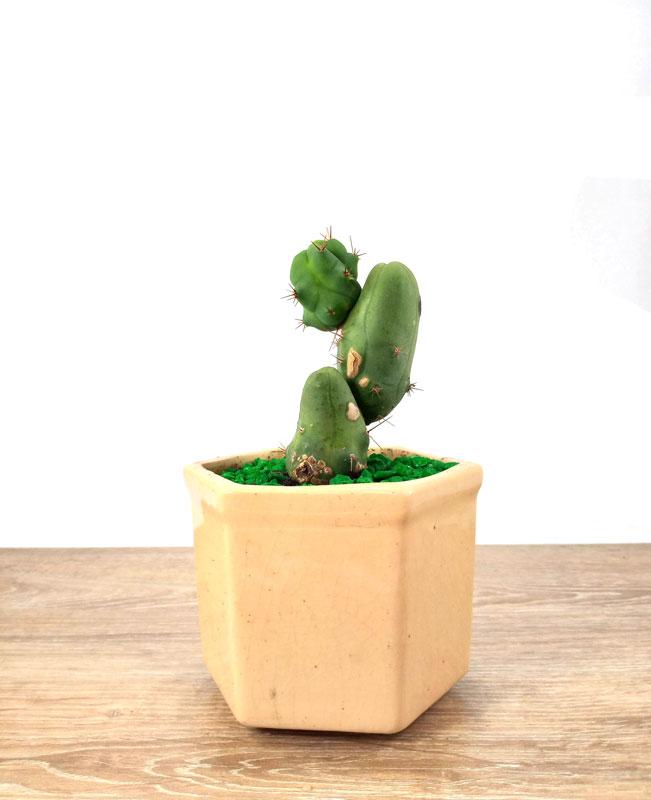 eucalipto pomarrosa venta de plantas