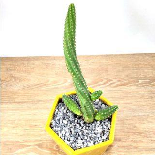 cuidados del cactus 7HA1-1