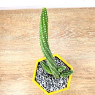 cuidados del cactus 7HA1