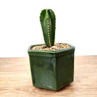 cuidar cactus 2HV