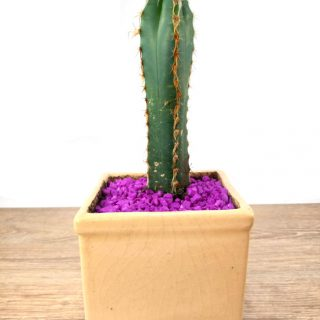 flor cactus 2CB-1