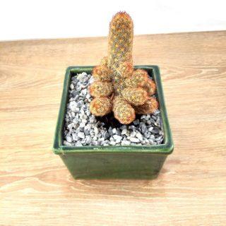 flor cactus 3CV-1
