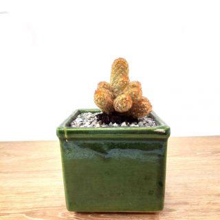 flor cactus 3CV