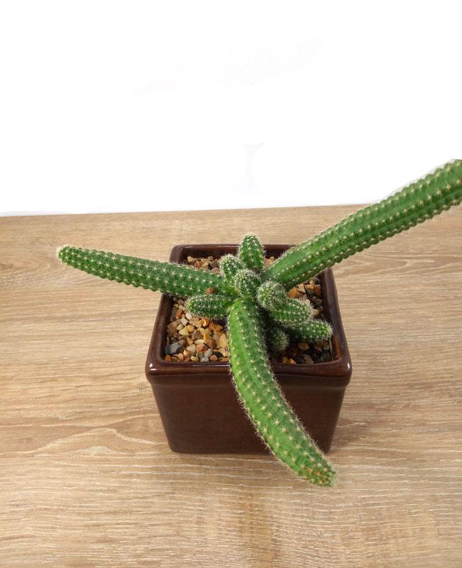 cactus para oficina cultivo de kiwi en Colombia
