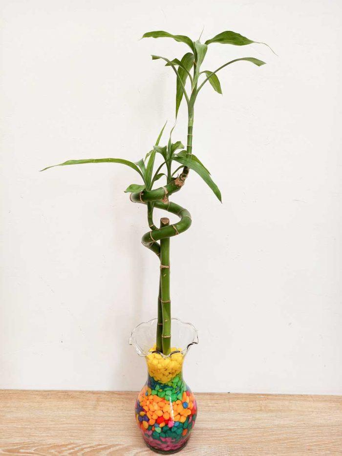 como cuidar lucky bamboo