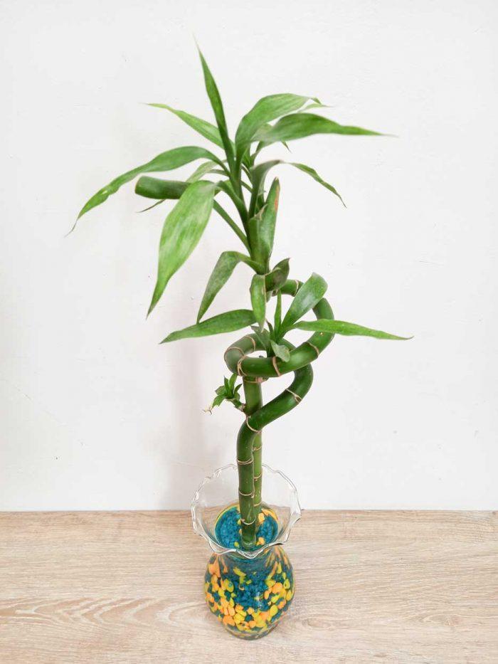lucky bamboo en tierra